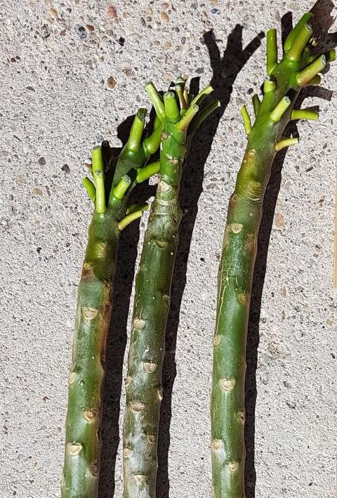 Plumeria Stecklinge