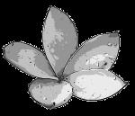 Frangipani Blüte (grau)
