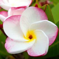 "Plumeria rubra ""Pink Pansy"""