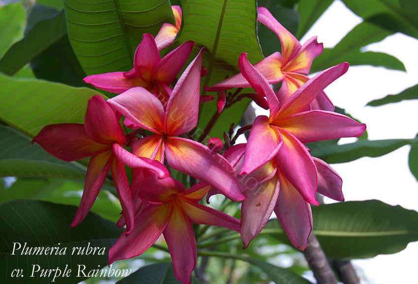 """Plumeria rubra """"Purple Rainbow"""""""
