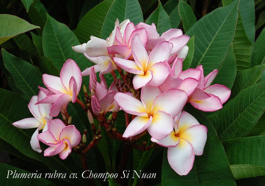 "Plumeria rubra ""Chompoo Si Nuan"""