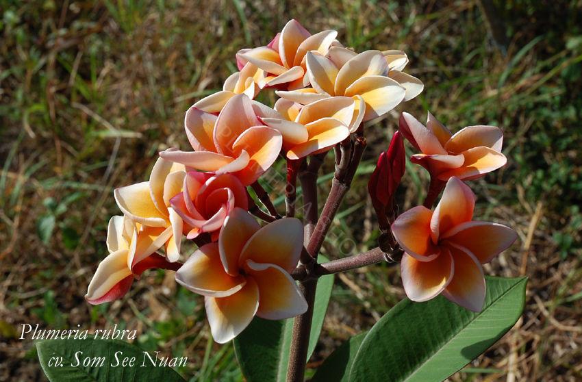 """Plumeria rubra """"Som See Nuan"""""""