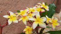 "Plumeria rubra ""Fools Gold"""