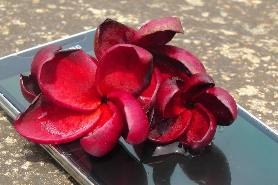 """Plumeria rubra """"Black Sand"""""""