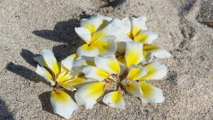"Plumeria rubra ""Bali Whirl"""