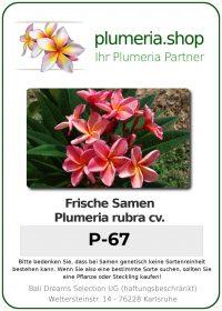 """Plumeria rubra """"P-67"""""""