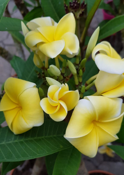 "Plumeria rubra ""Lemon Drop"""