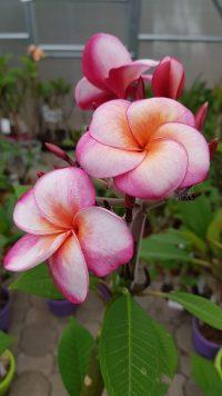 "Plumeria rubra ""SuperRound"""