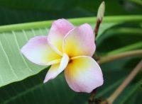 """Plumeria rubra """"Chompoo Rainbow"""""""