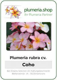 "Plumeria rubra ""Coho"""