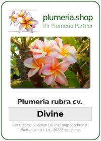 """Plumeria rubra """"Divine"""""""