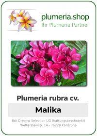 """Plumeria rubra """"JJ Malika"""""""