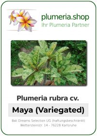 "Plumeria rubra ""Maya"" Variegated"