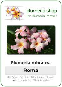 "Plumeria rubra ""Roma"""