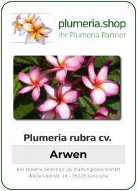 """Plumeria rubra """"Arwen"""""""