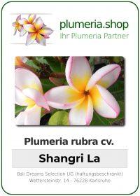 """Plumeria rubra """"Shangri La"""""""