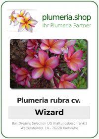 "Plumeria rubra ""Wizard"""
