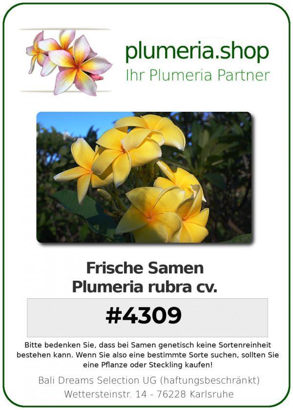 "Plumeria rubra ""#4309"""