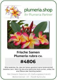 """Plumeria rubra """"4806"""" Saeng Tiang Tong"""