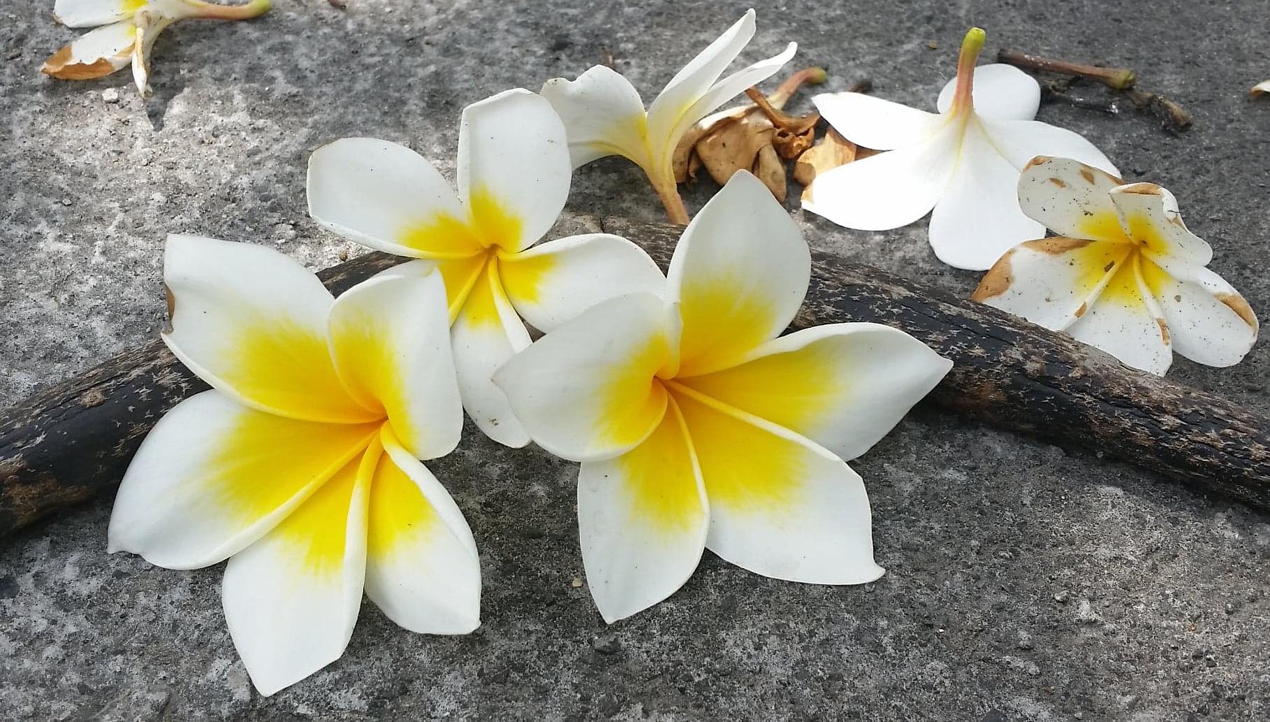 Plumeria Blüten