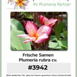"Plumeria rubra ""#3942"""