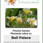 "Plumeria rubra ""Bali Palace"""