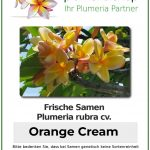 """Plumeria rubra """"Orange Cream"""""""