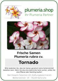 """Plumeria rubra """"Tornado"""""""