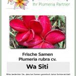 "Plumeria rubra ""Wa Siti"""