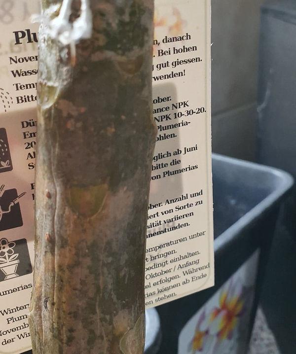 Plumeria Pflanze am 1. Maerz