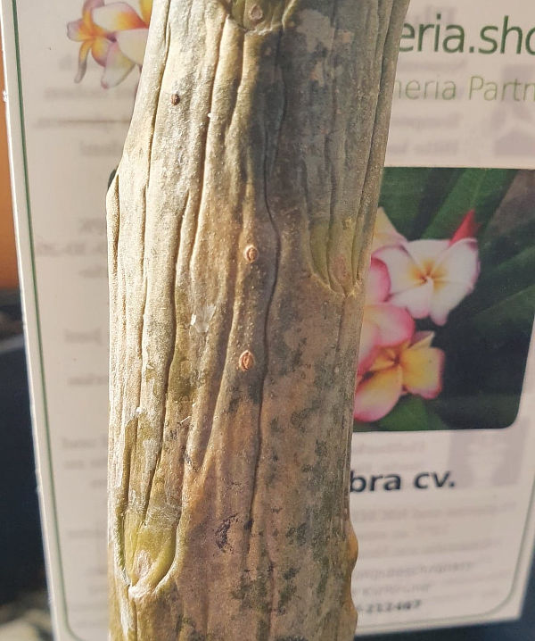 Plumeria Pflanze am 24. Februar
