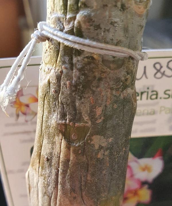 Plumeria Pflanze am 26. Februar