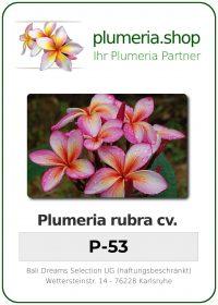 """Plumeria rubra """"P-53"""""""