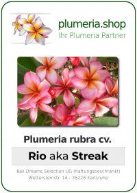 "Plumeria rubra ""Rio"" aka ""Streak"""