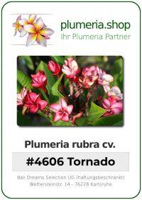 """Plumeria rubra """"#4606 Tornado"""""""