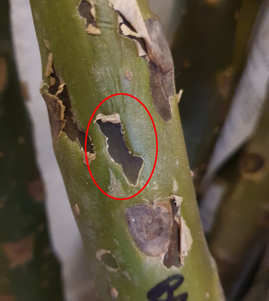 schwarze Flecken an einem Plumeria Steckling