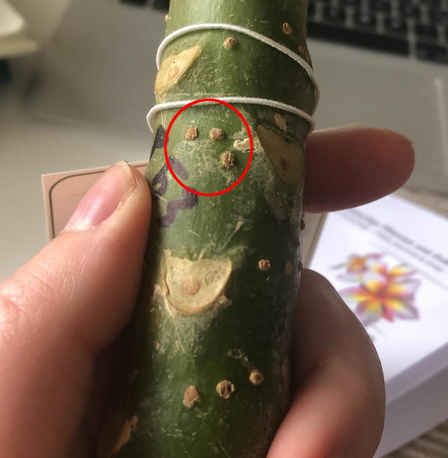 Pusteln an einem Plumeria Steckling