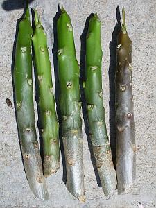 Plumeria Cuttings / Stecklinge