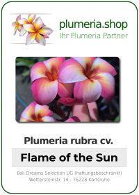 "Plumeria rubra ""Flame of the Sun"""