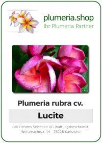 """Plumeria rubra """"Lucite"""""""