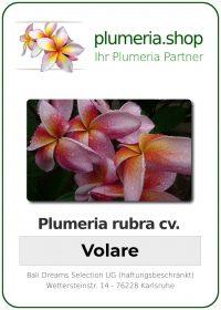 """Plumeria rubra """"Volare"""""""