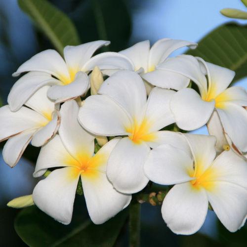 Singapore White