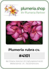 "Plumeria rubra ""#4101"""