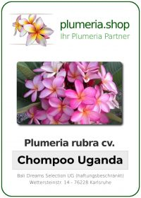 "Plumeria rubra ""Chompoo Uganda"""