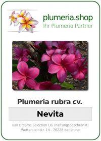 """Plumeria rubra """"Nevita"""""""