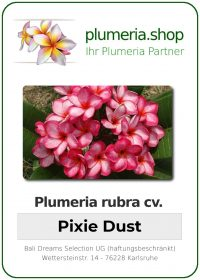 "Plumeria rubra ""Pixie Dust"""