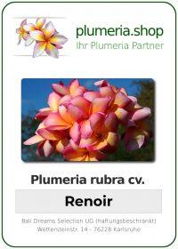 """Plumeria rubra """"Renoir"""""""