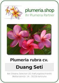 "Plumeria rubra ""Duang Seti"""