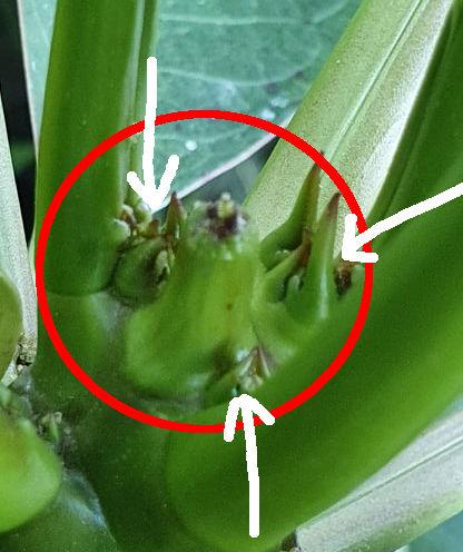 Knubbelbildung an einer Frangipani