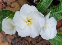 White Pansy